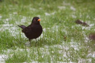 Blackbird foraging in the snow