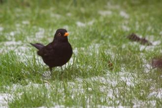 Blackbird foraging in the snow
