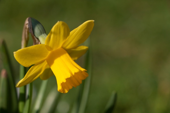A traditional emblem of spring, the bright yellow trumpet flowers of narcissus, aka the daffodil.
