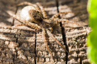 Spotted wolf spider with its egg sac. One of many that were sitting in the sun today.