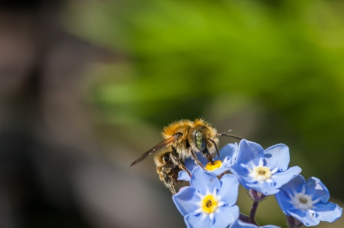 Again I'm not sure on the exact species, but this is a male mason bee. The forget-me-not flowers show how small they are, about half the size of the female.