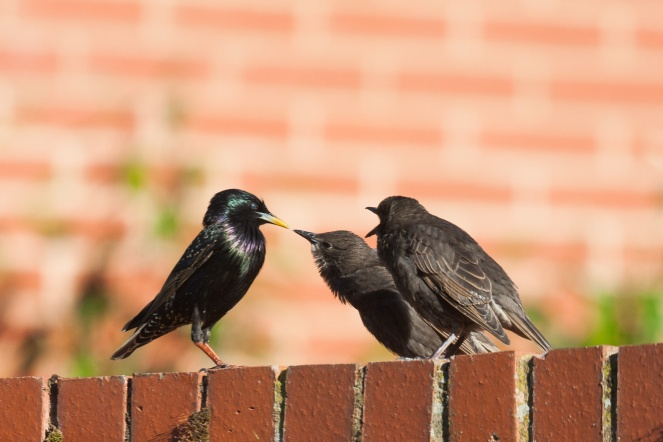 Starlings feeding their young in the garden this morning.