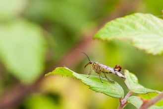 "Spotted this Scorpion Fly on a walk round Ditchford Lakes and Meadows for #30DaysWild day 14. This is panorpa communis, the ""sting"" signifies that this is a male as the females don't have one. It's actually not a sting at all, instead being for clasping the female during mating."