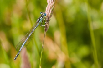 Another lunchtime minibeast hunt for #30DaysWild day 16, spotted this White Legged damselfly. Species platycnemis pennipes, the pale blue colour makes this is a male.