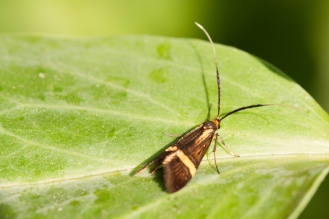 Evening minibeast hunt in the garden for #30DaysWild day 19, found this Fairy Longhorn Moth. I think this is nemophora degeerella, a female as the male's antennae are significantly longer!
