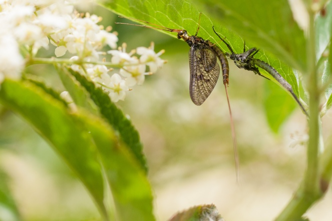 Out and about for #30DaysWild day 21. Spotted this newly emerged Mayfly. Behind it is the empty husk (Exuvia) that it has just emerged from. Unfortunately I don't know which of the 51 UK species of Mayfly (Ephemeroptera) this is.