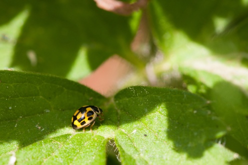 #30DaysWild day 24, found this little yellow ladybird scurrying around the undergrowth. This is Propylea 14-punctata, the 14-spot ladybird. Sometimes the spots on this ladybird fuse together, as can be seen in the 3 bars (6 spots) down the middle of its wing casings.