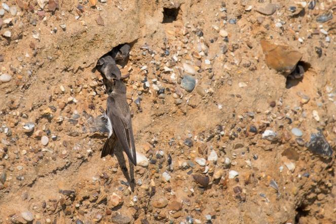 Sandmartin parent feeding babies in their cliff nest at Weybourne beach, Norfolk.