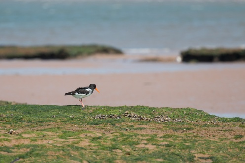 Oystercatcher on the beach, getting blown about a bit in the stong wind.