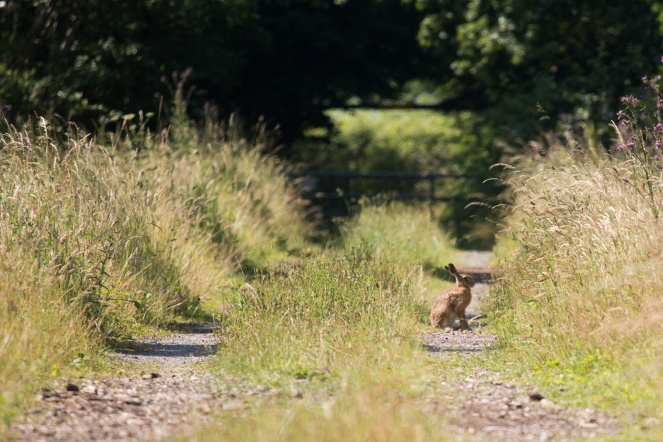 Spotted this hare sitting on a track off the main path.
