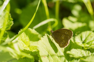 Ringlet butterfly in the sun.