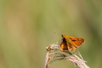 A male Large Skipper butterfly.