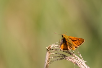 A male Large Skipper butterfly.