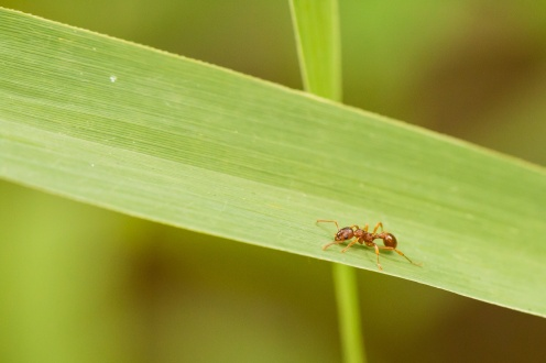 Not the best picture of a red ant, but they don't say still for long!
