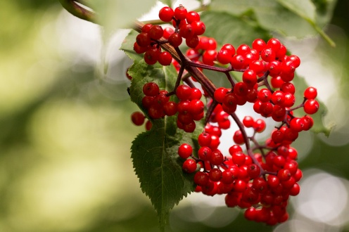 Clumps of bright red berries standing out in the shade from the trees. I think they were black bryony.