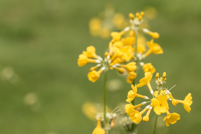 A fantastic looking yellow Candelabra Primrose, which I now want in my own garden!