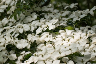 Lovely blanket of white flowers on this Flowering Dogwood. I think this is Cornus Kousa.