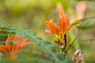 Orange daylily flowers pushing through leaves of ferns.