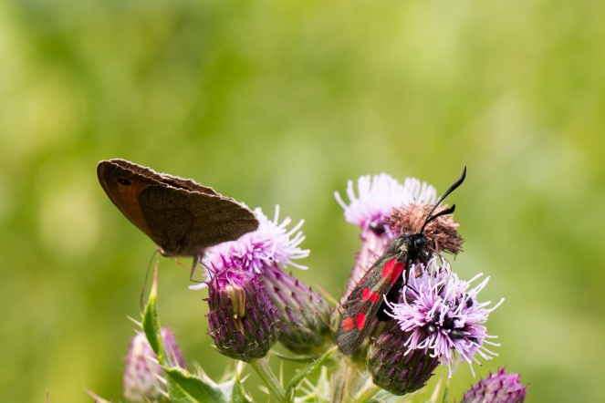 A meadow brown butterfly and a six-spot burnet moth, on creeping thistle flowers.