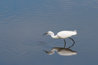 A Little Egret hunting for food.