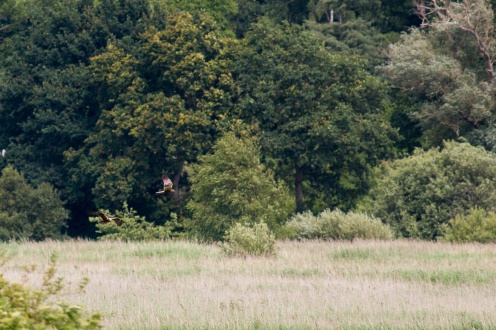 There's two Marsh Harriers in this photo, quite well camouflaged against the trees in the background.