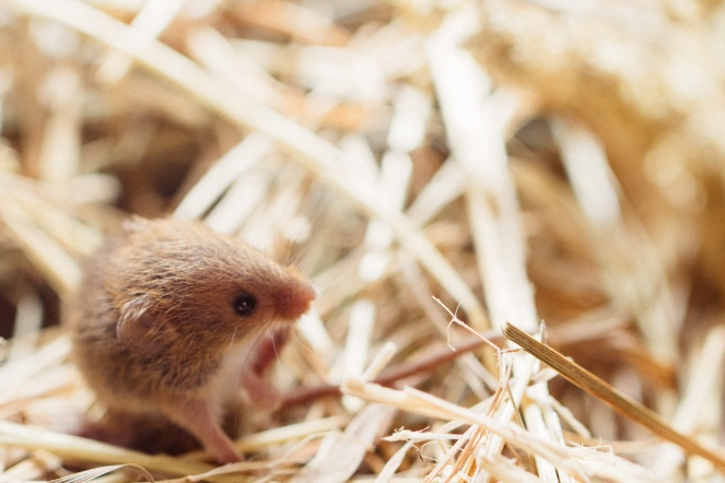 Captive harvest mouse, part of a conservation breeding program.
