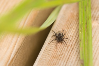 Spotted wolf spider carrying her eggsac.