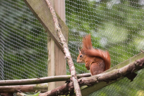 A few pictures of some captive Red Squirrels at Natural Surroundings Wildflower Centre, part of the UK conservation breeding program.