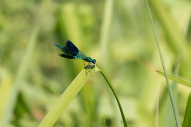 A Banded Demoiselle damselfly sitting with its wings open.