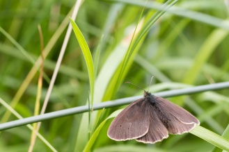 Ringlet butterfly resting on a sedge leaf.