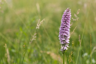 A large orchid flower, not sure if this is a common spotted or southern marsh species.