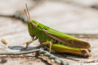 A Common Green grasshopper, sitting on some decking in the sun.
