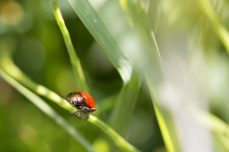 A bright red Knotgrass Leaf Beetle catching the sunlight on a grass stem.