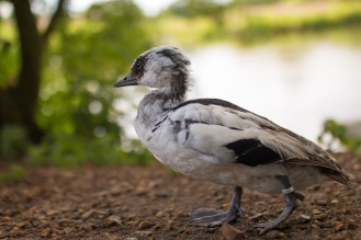 A somewhat scruffy looking jeuvenile Smew.