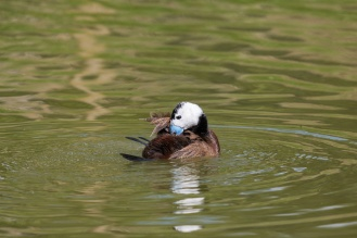 Ruddy duck doing a bit of preening. (Photos from Pensthorpe Natural Park)