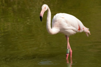 One of Pensthorpe's Flamingos wading through the pond in their enclosure. (Photos from Pensthorpe Natural Park)