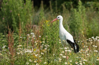European stork taking a stroll through a patch of wildflowers.