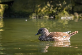 A female Mandarin duck. (Photos from Pensthorpe Natural Park)