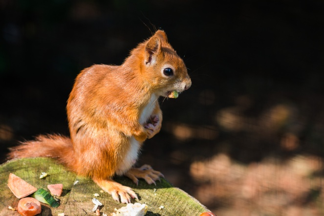 Red squirrel sitting on a wooden stump, in the sun. (Photos from Pensthorpe Natural Park)