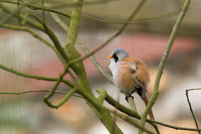 A Bearded tit in the enclosure next to the visitor centre. (Photos from Pensthorpe Natural Park)