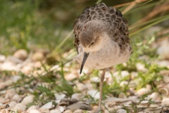 A female Ruff in the enclosure next to the visitor centre. (Photos from Pensthorpe Natural Park)