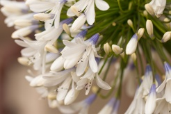 Flowers of Agapanthus 'Queen Mum' in the courtyard outside the visitor centre. (Photos from Pensthorpe Natural Park)