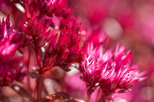 Bright pink flowers of a sedum in the gardens of Sheringham Park. (Photos from National Trust Sheringham Park.)