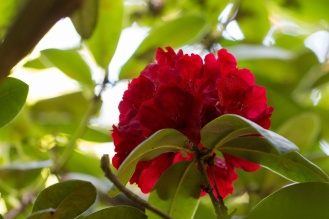 Vibrant red rhododendron flowers amongst the green leaves. (Photos from National Trust Sheringham Park.)