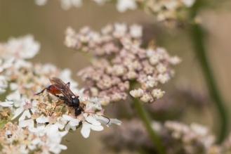 Ichneumon wasp Ichneumon extensorius rooting around for nectar. (Photos from National Trust Sheringham Park.)