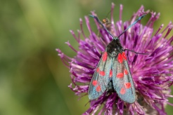 A 6 Spot Burnet moth on a thistle flower. (Photos from National Trust Sheringham Park.)