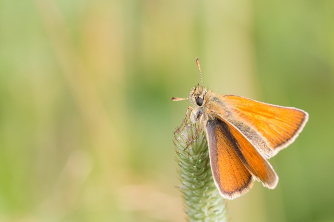 A Small Skipper butterfly perched on a sedge flower. Photos from Wildlife Trust Brampton Wood in Cambridgeshire.