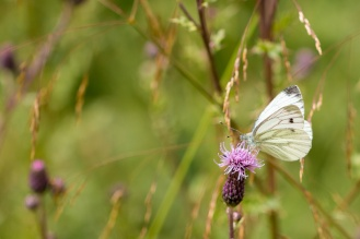 A Green-veined White butterfly feedingon a thistle flower. Photos from Wildlife Trust Brampton Wood in Cambridgeshire.