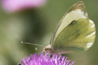 A Large White butterfly on a thistle flower. Photos from RSPB Fen Drayton Lakes nature reserve in Cambridgeshire.