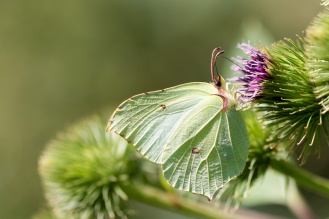 The vibrant yellow-green coloured Brimstone butterfly, feeding on a Burdock flower. Photos from RSPB Fen Drayton Lakes nature reserve in Cambridgeshire.